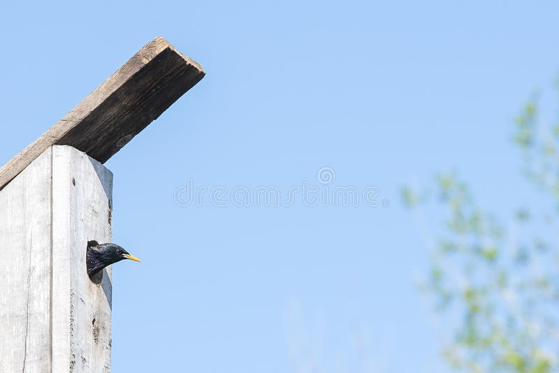 Starling on his birdhouse on a clear spring day. Starling beautiful on his birdhouse on a clear spring day royalty free stock photo
