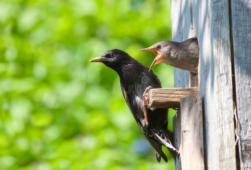 Starling and his nestling. This is starling and his nestling stock image