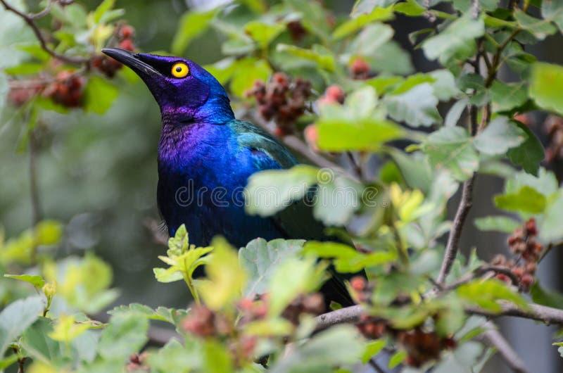Starling lucido viola fotografie stock libere da diritti