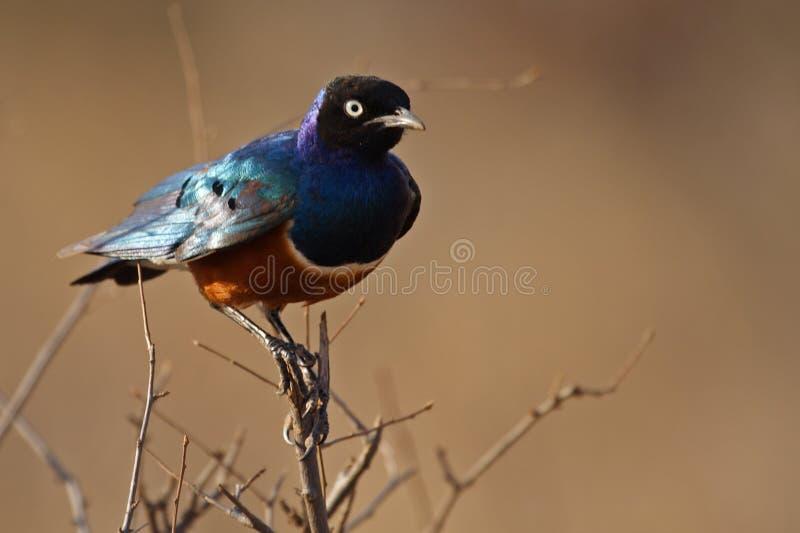 Starling magnífico, Kenya imagens de stock