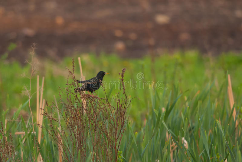Common Starling. Starling on the meadow in the late evening royalty free stock photos