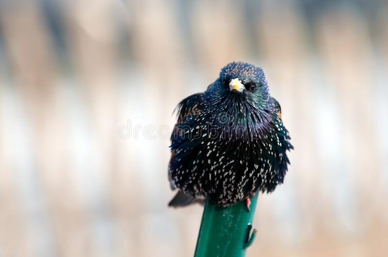Download Starling on a metal stick stock image. Image of stare - 8223737