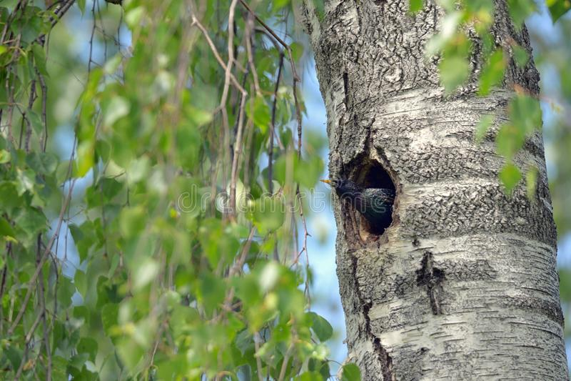 Starling Nesting en bosque imagen de archivo