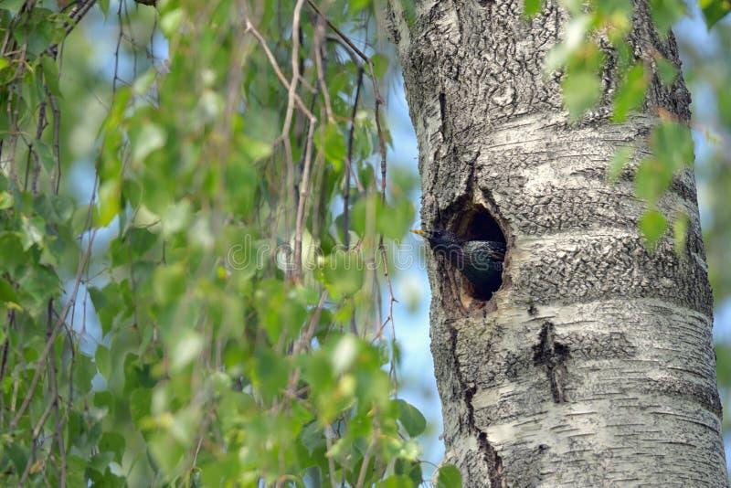 Starling Nesting i skog fotografering för bildbyråer