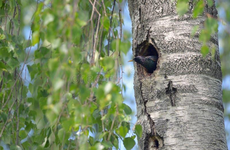 Starling Nesting i skog royaltyfri bild