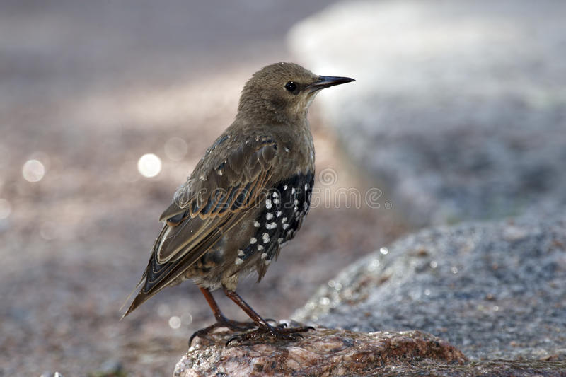 Starling nestling. Standing on stone stock photography