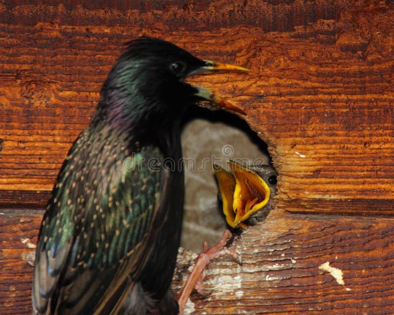 Starling Nestlings Begging images stock