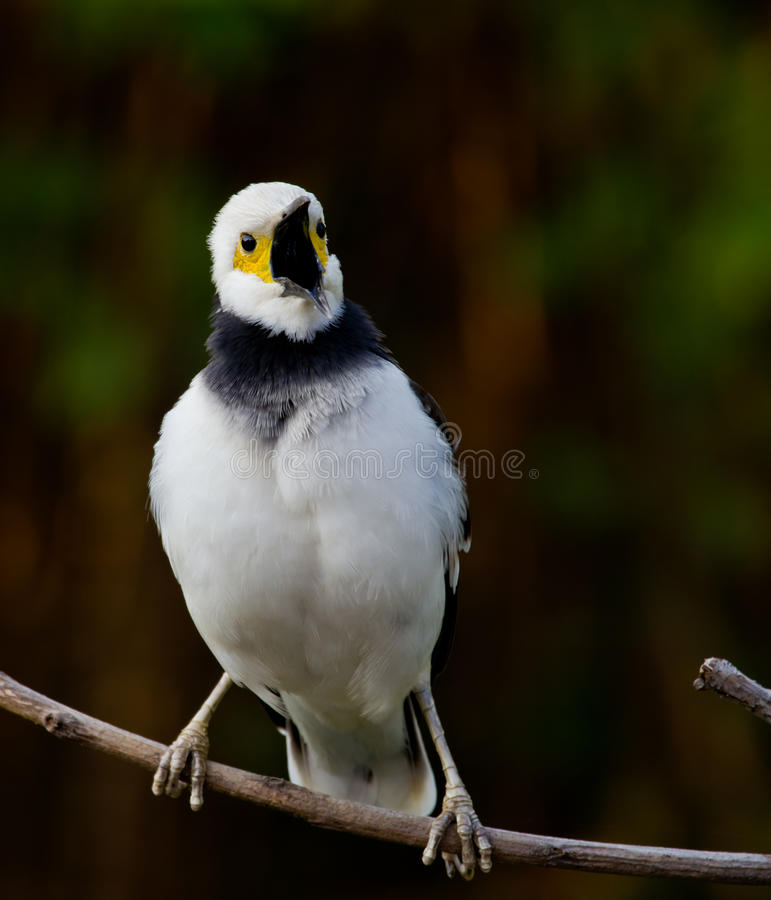 Starling Noir-colleté. images libres de droits