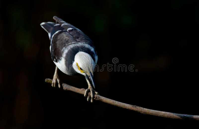 Starling Noir-colleté. photo libre de droits