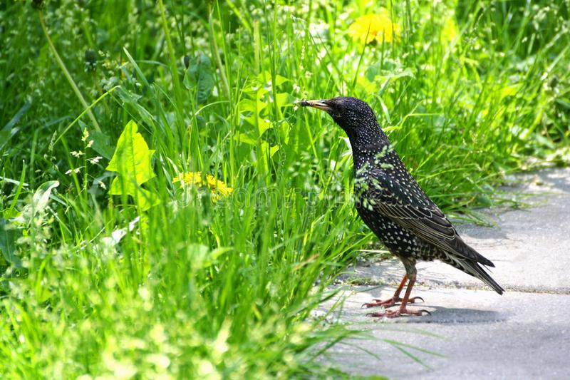 Starling an ordinary. European Starling walks on the grass. In the beak of a Starling caught an insect royalty free stock images