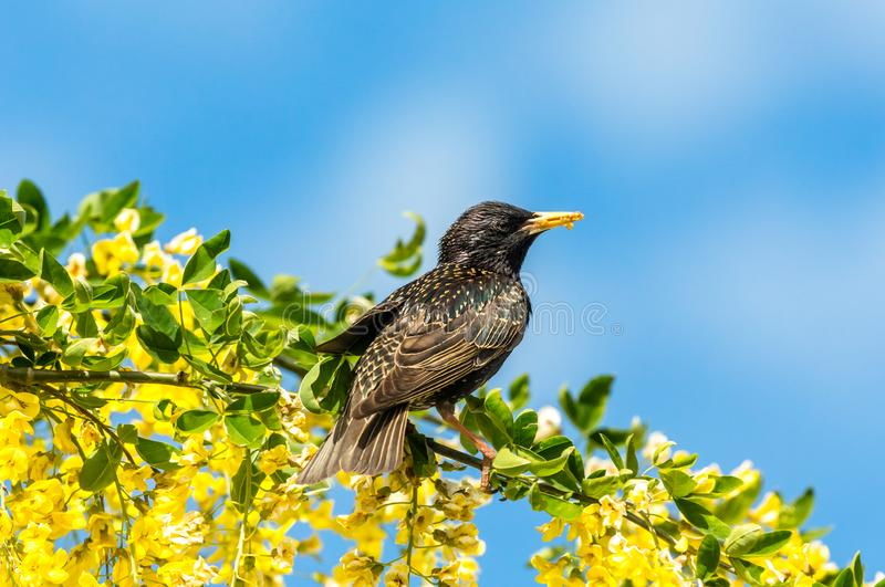 Starling perched in bright yellow laburnum flowers with blue sky background. Starling, Scientific name: Sturnus Vulgaris. perched in Laburnum Tree with bright royalty free stock image