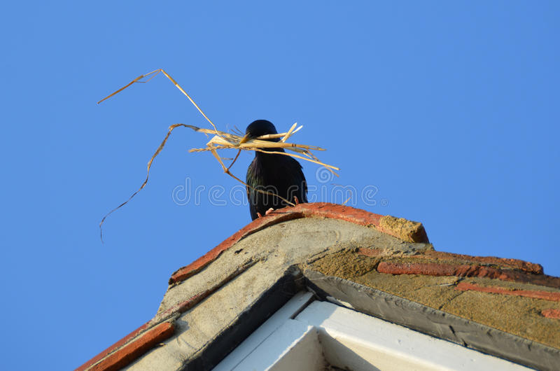 Starling preparing nest stock images