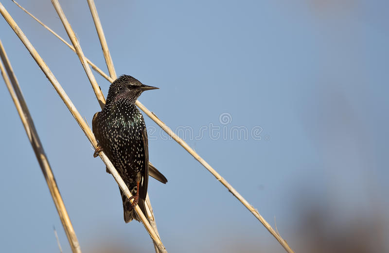 Starling on Reed. A starling (stumus vulgaris) is perching on a reed royalty free stock photos