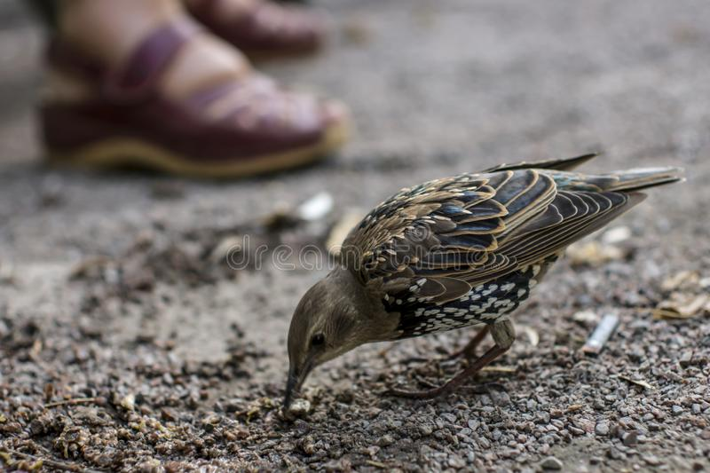 Starling in the road in big city. Starling arrived in the city after wintering in the southern countries and walks on the road between the legs of passers-by in royalty free stock image