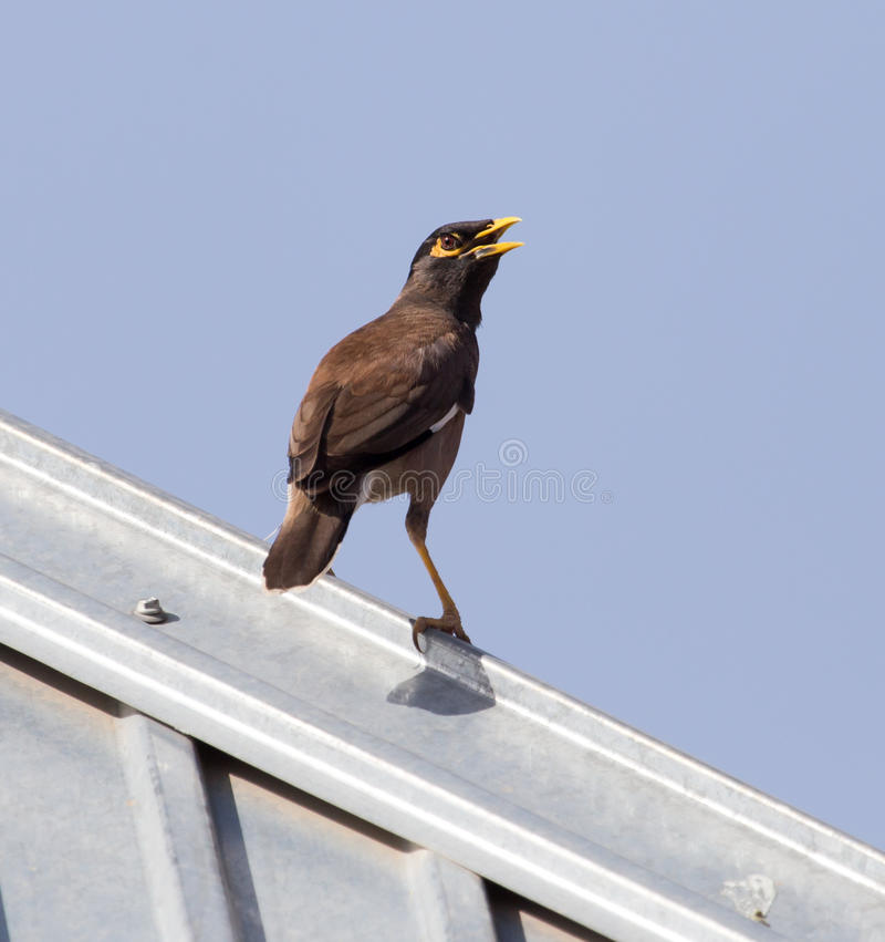 Starling on the roof. A Starling on the roof . A photo royalty free stock image