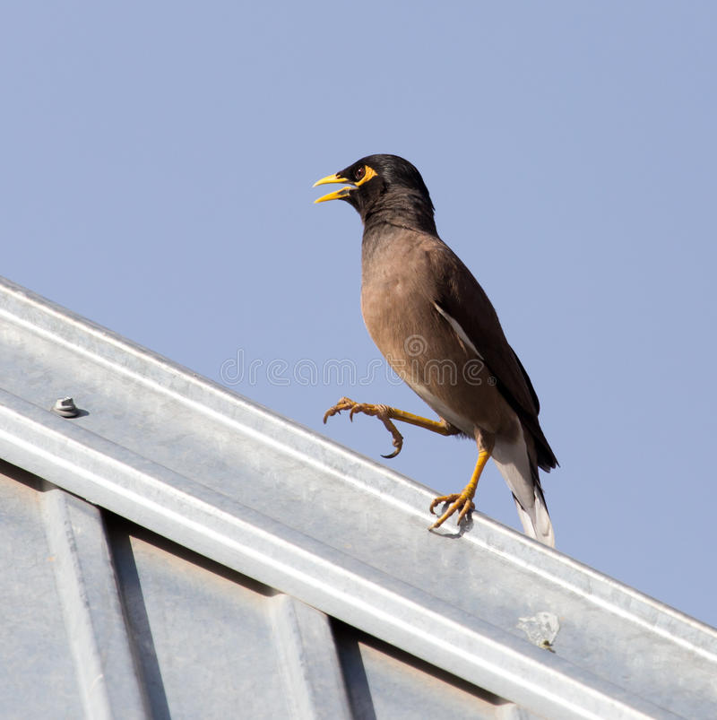 Starling on the roof. A Starling on the roof . A photo stock photography