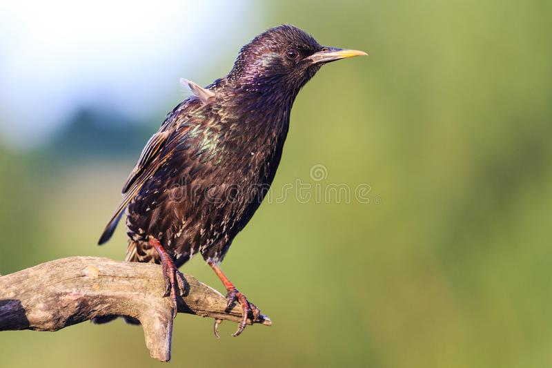 Starling sits on a branch in summer morning. Wildlife, animals royalty free stock image