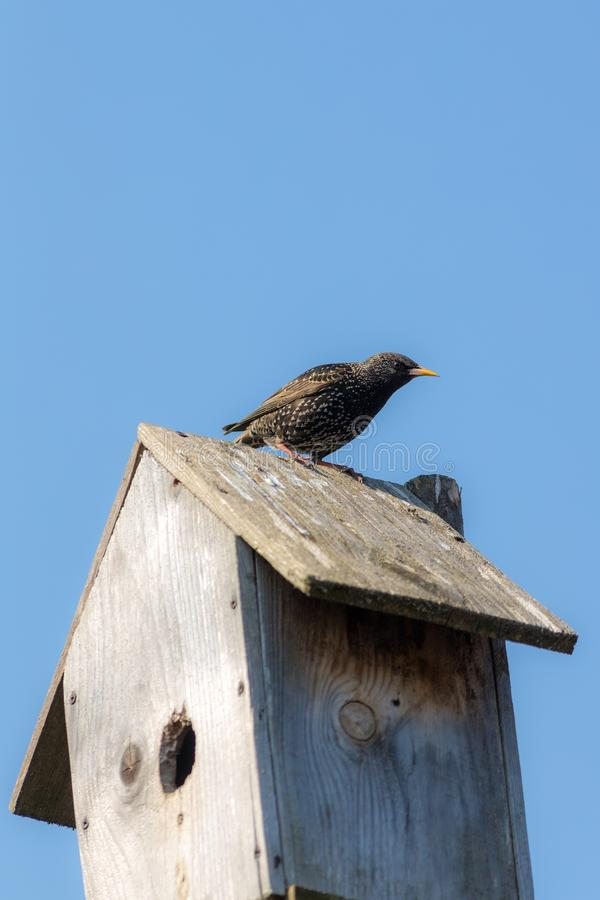 Starling sits on a nesting box. Starling sits on a wooden nesting box royalty free stock photo