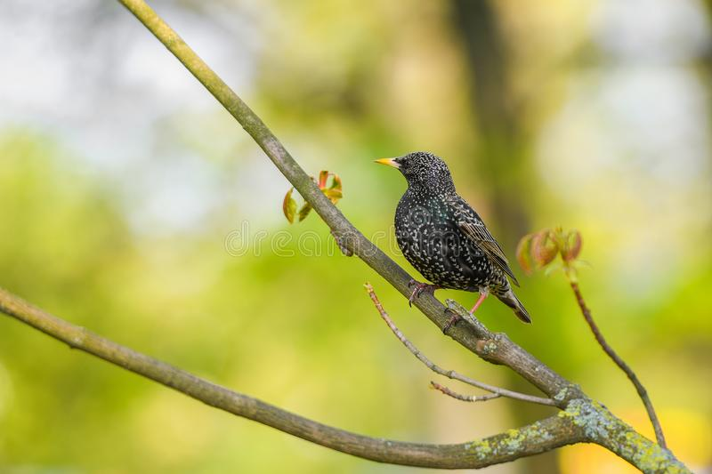Starling sits on a tree branch. green background, close-up.  royalty free stock photo