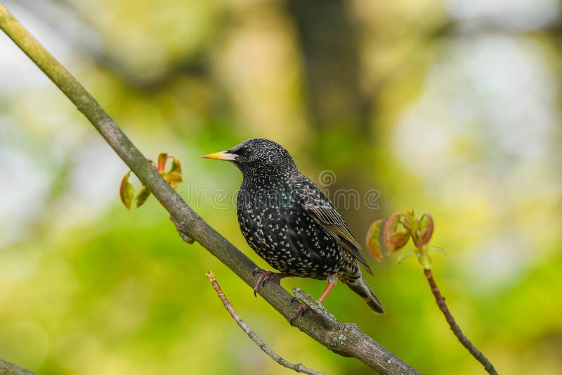 Starling sits on a tree branch. green background, close-up.  stock photos