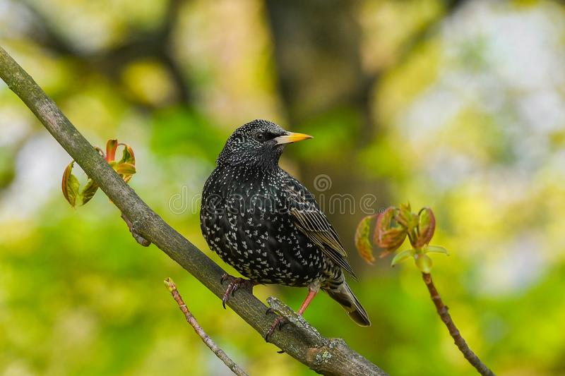 Starling sits on a tree branch. green background, close-up.  royalty free stock images