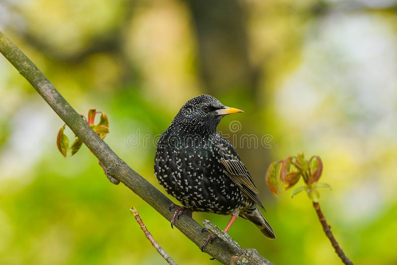Starling sits on a tree branch. green background, close-up.  stock image
