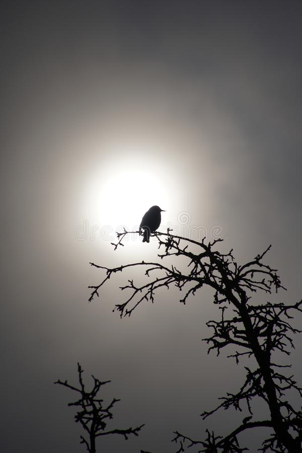 Starling sitting on a branch of an apple tree against the rising sun. Spring April. Silhouette in bright sunshine royalty free stock photos