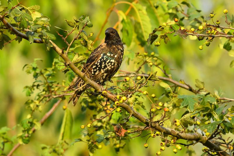 Starling sitting on a branch at sunset. Starling Sturnus vulgaris sitting on a hawthorn. Autumn color with white spots. Taken with telephoto lens 400mm f2,8 stock photo