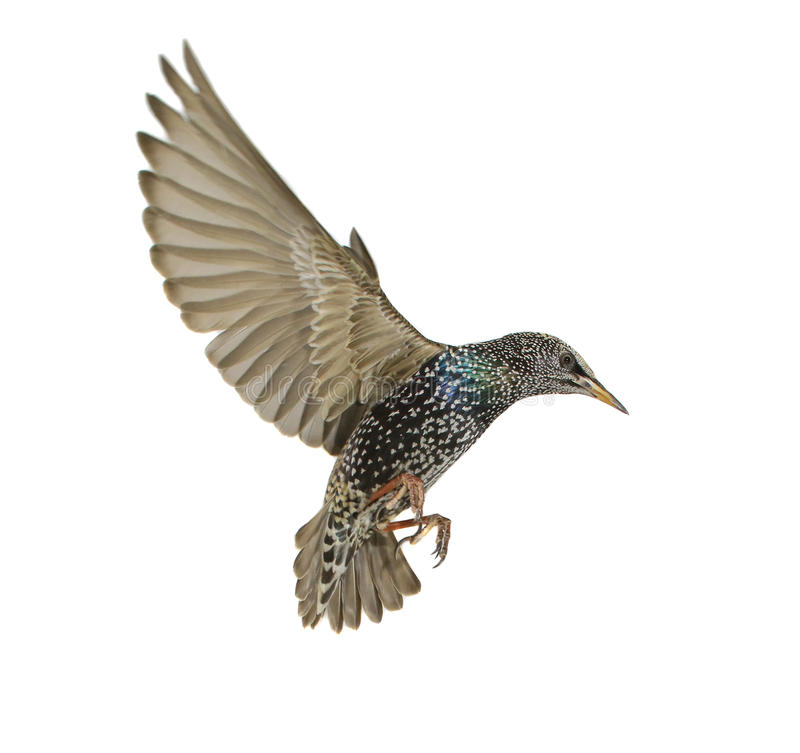 Starling. With spread wings isolated on white. Studio stock images