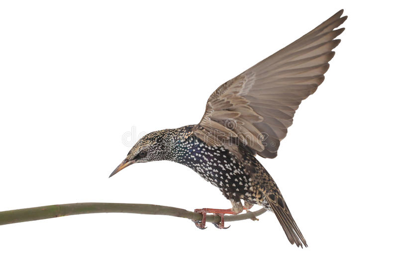Starling stock images