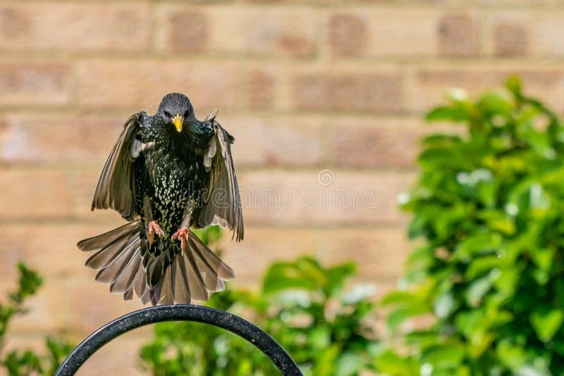 Starling Sturnus coming into land on urban wildlife feeder. Starling Sturnus vulgaris perched on a garden bird feeder preparing to fly royalty free stock images