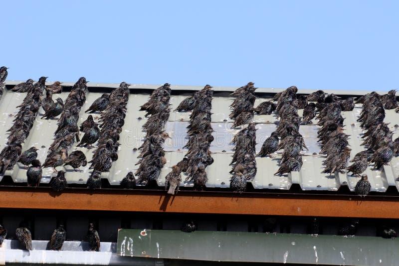 Starling, Sturnus vulgaris fotografia stock