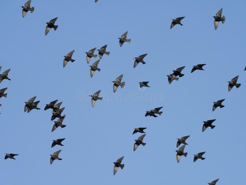 Starling, Sturnus vulgaris. A flock in flight, Islay, Hebrides, Scotland, February 2019 stock photography