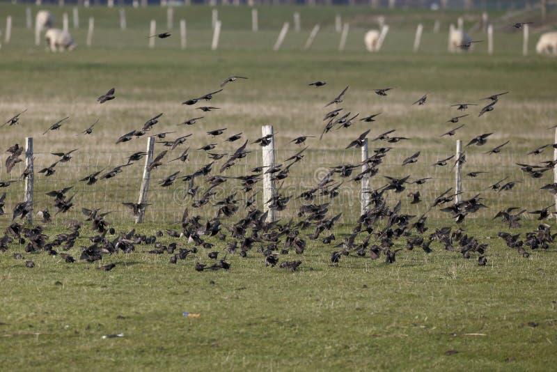 Starling, Sturnus vulgaris. Flock in flight, Kent, March 2014 royalty free stock photos