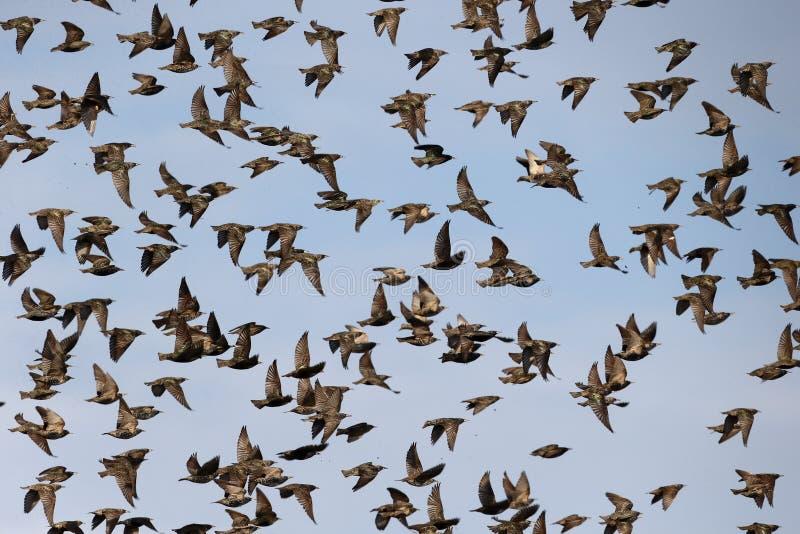 Starling, Sturnus vulgaris. Flock in flight, Kent, March 2014 royalty free stock image