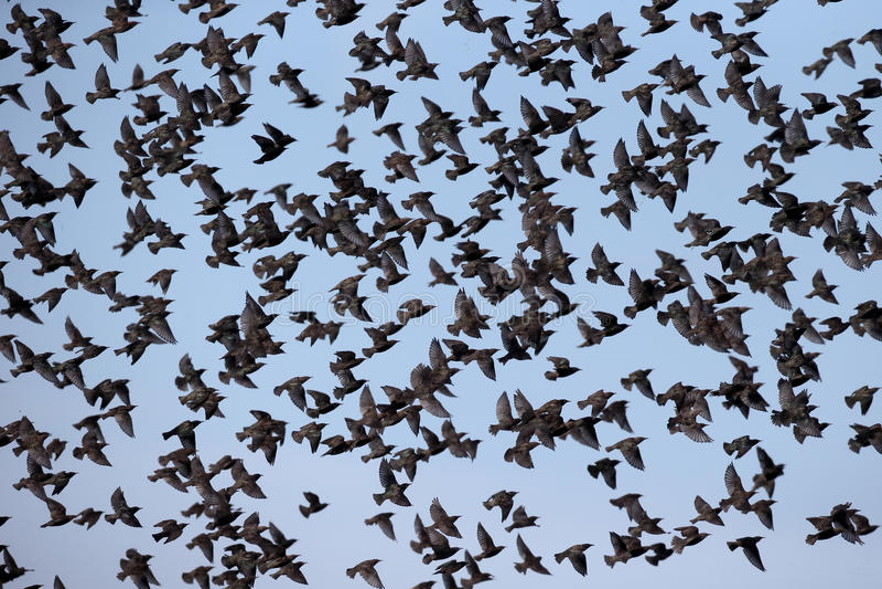 Starling, Sturnus vulgaris. Group in flight, South Uist, Hebrides, September 2015 stock images