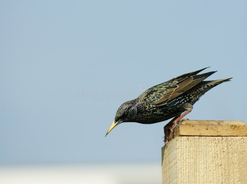 Starling (sturnus vulgaris) Ready...steady... Starling about to jump from a fence post, showing beautiful irridescent feathers stock photography