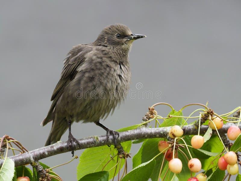 Starling, Sturnus vulgaris, stock images
