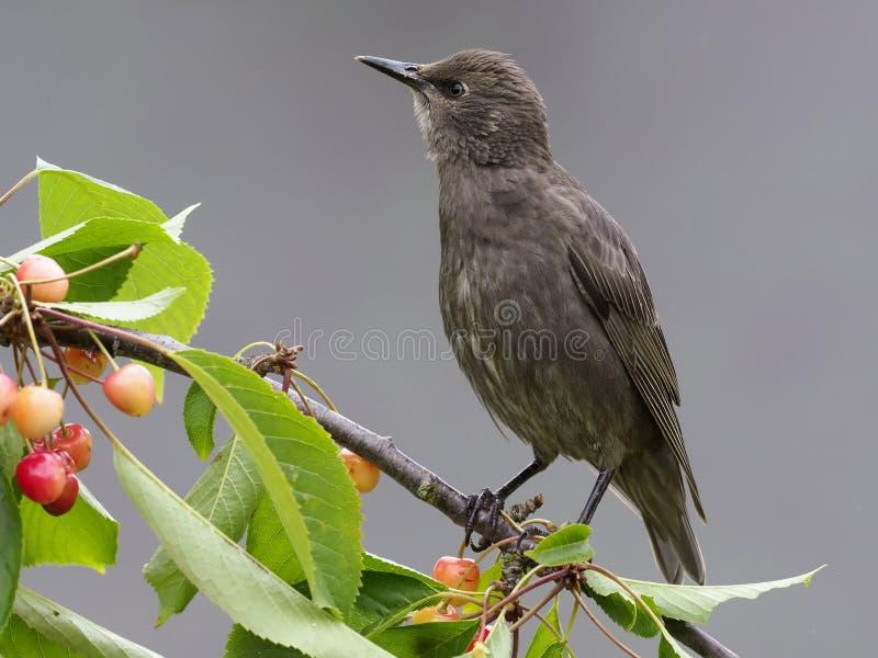 Starling, Sturnus vulgaris,. Single young bird bird on cherry branch, Warwickshire, June 2017 royalty free stock photos