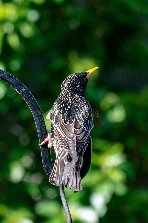 Starlings Sturnus vulgaris. Starling Sturnus vulgaris wild urban bird stock images