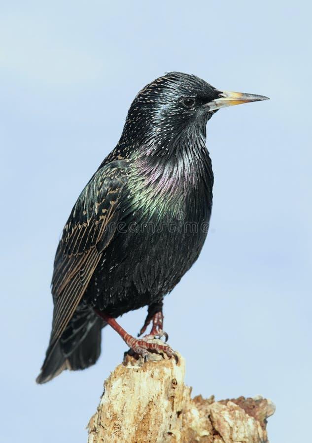 Starling sul ceppo fotografia stock