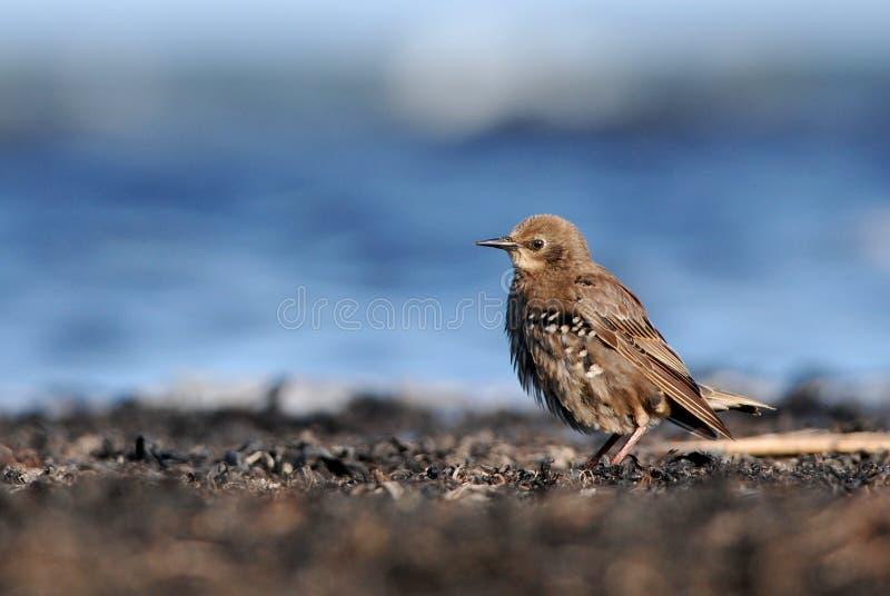 Starling sulla spiaggia fotografie stock