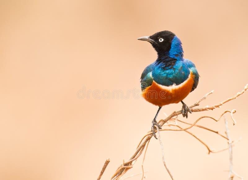 Starling superbo fotografie stock libere da diritti