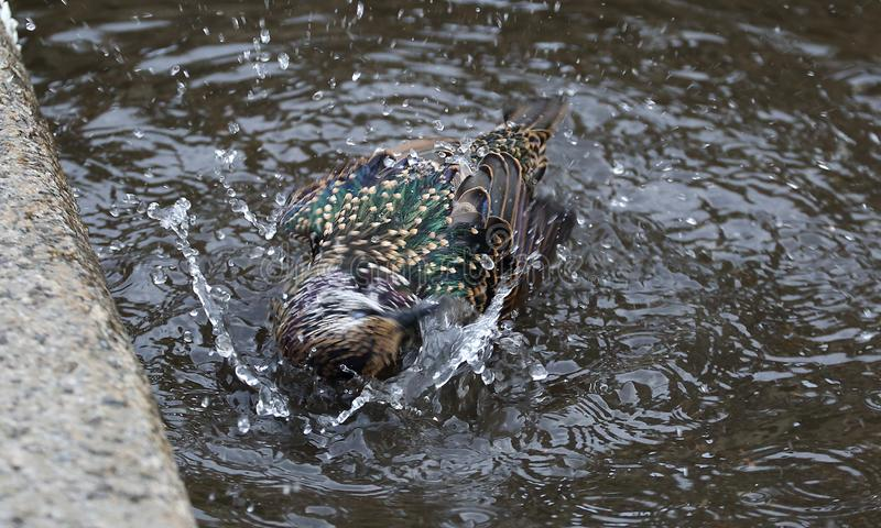 Starling swimming in a puddle. On the asphalt at the curb stock image