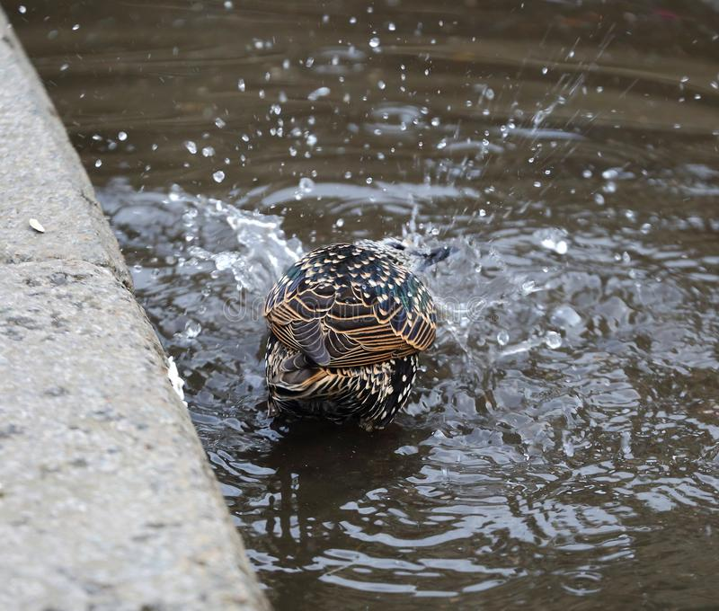 Starling swimming in a puddle. On the asphalt at the curb royalty free stock photo