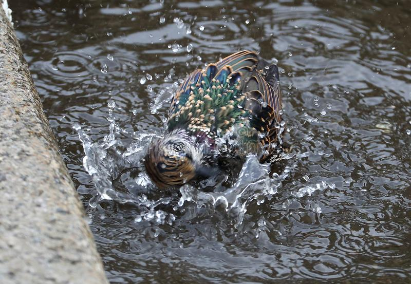 Starling swimming in a puddle. On the asphalt at the curb royalty free stock image