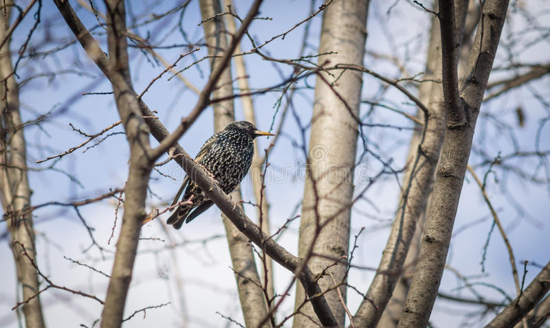 Starling on the tree. Blue clear spring sky on the background stock photos