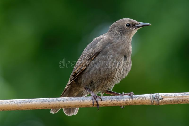 Starling on the tree. European Starling Sturnus vulgaris. Common Starling Sturnus Vulgaris Perching on the Branch royalty free stock photos