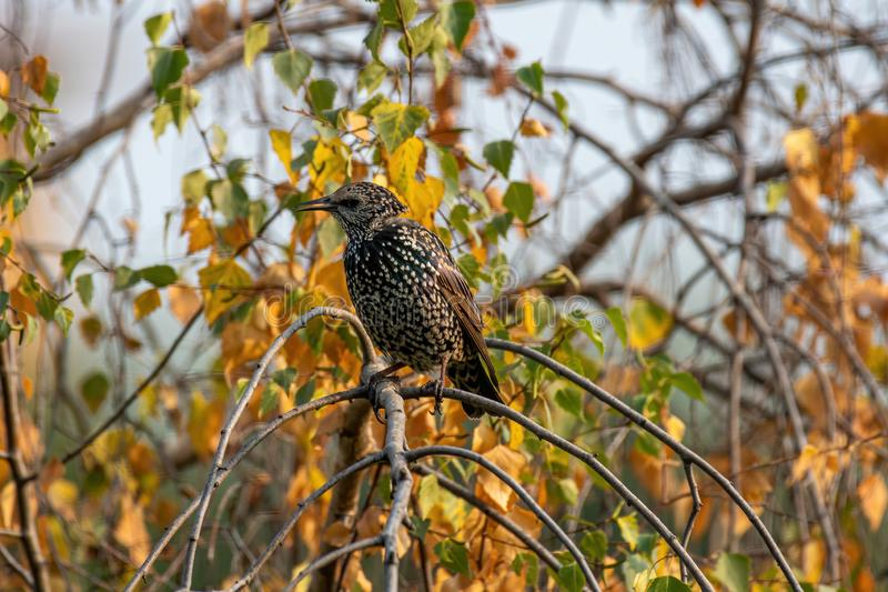 Starling on the tree. European Starling Sturnus vulgaris. Common Starling Sturnus Vulgaris Perching on the Branch stock photography