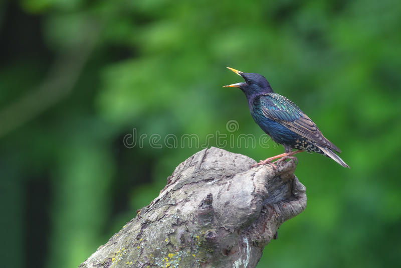 Starling. On tree in the garden stock image